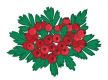Isolated bunch of hawthorn with ripe red berries. single branch of haw or crataegus with hawberry and leaves. Vector Stock Photos