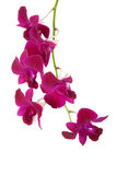Isolated bunch of oriental magenta orchid Royalty Free Stock Photos