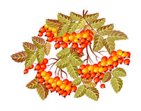 Isolated bunch of rowan on a white background in the style of Russian painting Royalty Free Stock Image