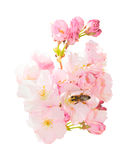 Isolated Bunch Spring Blossom Pink Flowers With Honeybee Obtaining Nectar Stock Photography