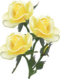 Isolated bunch of three light yellow roses Stock Photos
