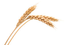 Isolated bunch of wheat Stock Images
