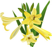 Isolated bunch of yellow lily flowers Royalty Free Stock Image