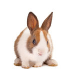 Isolated bunny. Isolated little easter bunny on a white background Royalty Free Stock Photos