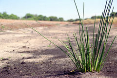 Isolated Bush Grass. Taken in the Australian Bush, otherwise known as the 'outback Stock Photo