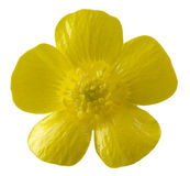 Isolated buttercup flower Royalty Free Stock Images