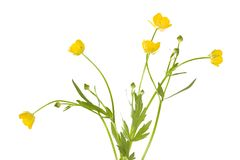 Isolated buttercup flowers royalty free stock image