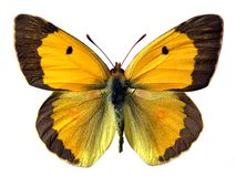 Free Isolated Butterfly Royalty Free Stock Photos - 4577358