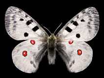 Isolated butterfly apollo Royalty Free Stock Photos