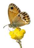 Isolated butterfly on flower Royalty Free Stock Photo