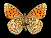 Isolated butterfly fritillary. Isolated butterfly high brown fritillary opened wings Royalty Free Stock Photography