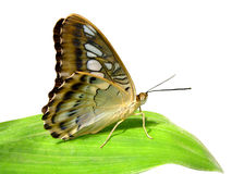Isolated Butterfly on leaf. Isolated macro butterfly parthenos sylvia of profile on leaf Royalty Free Stock Image