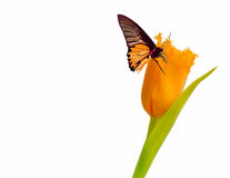 ISOLATED BUTTERFLY ON TULIP. PRETTY YELLOW AND BLACK BUTTERFLY SITTING ON A YELLOW TULIP Stock Images