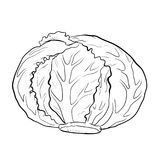 Isolated cabbage-Hand drawn Vector. Illustration Cabbage, Vegetable engraved style illustration. Isolated Cabbage on white background. Detailed vegetarian food vector illustration