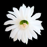 Isolated cactus flower Royalty Free Stock Photo