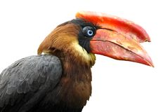 Isolated calao Rufous hornbill Royalty Free Stock Images