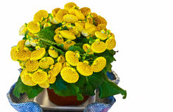 Isolated Calceolaria Stock Images