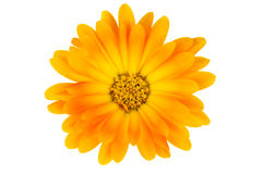 Isolated calendula flower Royalty Free Stock Images