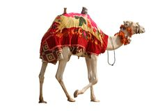 Isolated camel Royalty Free Stock Photos