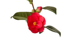 Isolated camelia Royalty Free Stock Photos