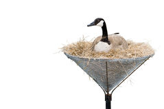 Isolated Canada Goose. A canada goose lying in a man made nest isolated against a white background Royalty Free Stock Images
