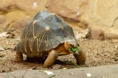 An isolated radiated tortoise eating a leaf. stock photo