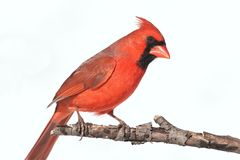 Isolated Cardinal On A Branch stock photography