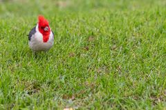 Isolated cardinal cramoisi intelligent sur le fond d'herbe photos stock