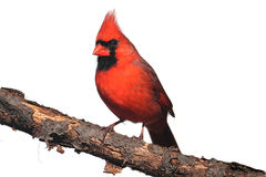 Isolated Cardinal On A Stump Stock Photography