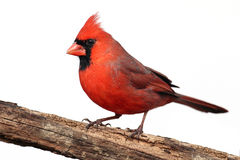 Isolated Cardinal On A Stump Royalty Free Stock Photography