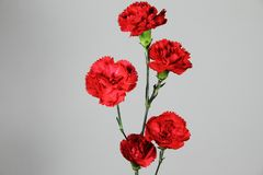 Isolated carnation flowers Stock Photography