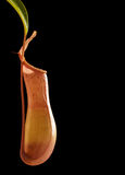 Isolated carnivorous plant (black background) Royalty Free Stock Photography