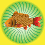 Isolated carp Royalty Free Stock Images