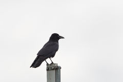 Isolated carrion Crow Corvus corone standing. With white background royalty free stock image