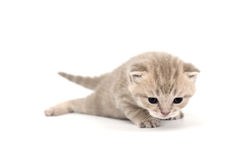 Isolated cat Royalty Free Stock Image