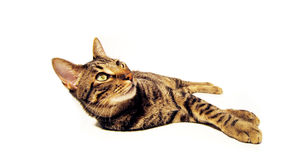 Isolated cat. Isolated complete cat. Is looking up Stock Photo