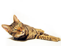 Isolated cat. Isolated complete cat. Is looking at you Stock Photography