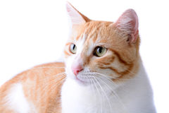 Isolated Cat Royalty Free Stock Photo