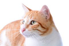 Isolated Cat Royalty Free Stock Images