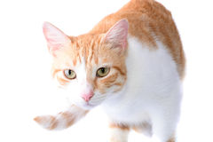 Isolated Cat Royalty Free Stock Photos