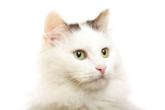 Isolated cat portrait Stock Images