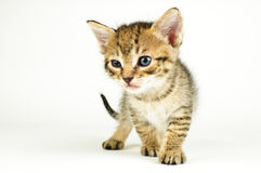 Isolated cat on white background.  Royalty Free Stock Photos