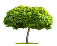 Isolated catalpa tree Stock Image