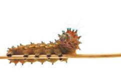 Isolated Caterpillar Stock Photography
