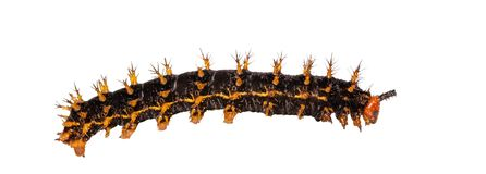 Isolated caterpillar to chrysali of great eggfly butterfly Hyp. Isolated caterpillar of great eggfly butterfly Hypolimnas bolina Linnaeus on white with clipping stock images