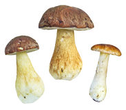 Isolated ceps Stock Photography