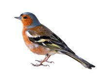 Isolated a Chaffinch Royalty Free Stock Photo