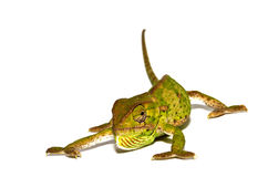 Isolated Chameleon Royalty Free Stock Images