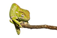 Isolated Chameleon staring Stock Image