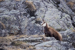 An isolated chamois deer in the snow background Royalty Free Stock Image